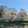 今年の桜はどことなく寂しそう、、、