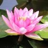 睡蓮の花 蒲の穂