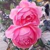 12月1日 薔薇の花