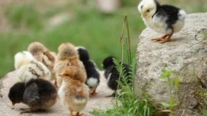 chickenとa chicken。「気持ち」を考えれば冠詞の使い方は間違えない!