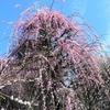 東京の梅の名所を厳選紹介 Plum Blossoms in TOKYO 2019🌸🌺