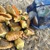 大潮だったので磯遊びで貝とって来ました。大漁です!