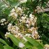 サルスベリ咲く