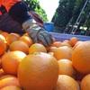 ミルデューラ/畑仕事① 大規模農業が日常に オーストラリア