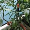 ベランダ園芸3(ミニトマト)