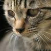 【猫コラム①】ペットショップの売れ残りの猫さんに思うことーアメリカンショートヘアの男の子ー