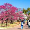 一足先に春を感じる!関東の梅まつり