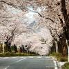 埼玉県秩父の【桜】お花見おすすめスポット紹介