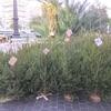 【海外文化】 生(本物)のモミの木で作るクリスマスツリー 【ヨーロッパ】