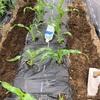 市民菜園で野菜づくりに挑戦!10