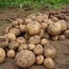 3種類のジャガイモを収穫&食べ比べ