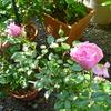 オーバーナイト・センセーションの開花