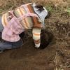 今年の初収穫は10年物のヤマイモです