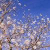 満開の白い花!?:ナンキンハゼ