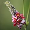クズインゲンの花