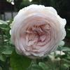 春のクロチルド スーペル(粉粧楼)は白バラのようだと知った