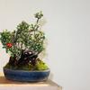 チョウジュバイの盆栽を燿山に植え替え