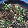 根っこを植えて育てています。