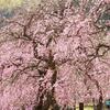 しだれ梅、満開だぁ!!  ― 名古屋市農業センター 取り急ぎ「今日の一枚」 ―