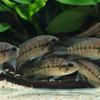 パラクロミス・モタグエンシス (EUブリード) 1匹 観賞魚 魚 アクアリウム 熱帯魚 ペット