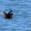 波崎漁港を飛び去っていくハシボソミズナギドリ