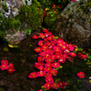 滋賀・朽木 - 興聖寺 旧秀隣寺庭園の散り椿