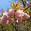 「マダム倶楽部」活動報告 コスモス園の菜の花を愛でながらウォーキングは続く 4月13日