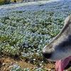 息子(大型犬)と見頃のネモフィラを見に、ペットOK・入園無料の「浜名湖ガーデンパーク」に行ってきました。