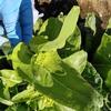 ジャンク野菜と菜の花
