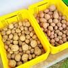 ジャガイモの残りすべて収穫しました!