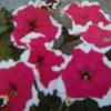 7月22日誕生日の花と花言葉