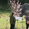 田布施の陽光桜が満開です