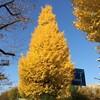 都内の黄葉&紅葉が真っ只中・・・です。