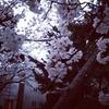 素早く咲いて散る桜