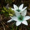 イキシア - 今日の誕生花 -