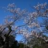 🌸上野公園 桜の開花状況🌸