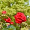 敷島公園のバラ園。バラの写真を撮りながら散策する。