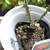 ついに!バラをスリット鉢に植えてみたぞ!