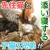 先住猫と子猫3兄弟が添い寝!最初は威嚇し合ってたけど仲良しになってきた!