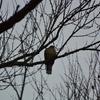 早朝探鳥・井の頭公園の野鳥/2018-12-11
