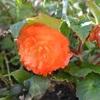 オレンジ色のフォーチュンベゴニア