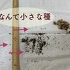 放置してあったリナリア(姫金魚草)に種ができていた!