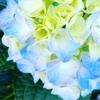 紫陽花の季節 #3