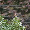 ジィちゃんと探鳥、名栗湖でオシドリ/2020-11-27