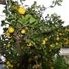 柑橘類の色づく様子