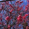 春の香りを求めて!「京都市内一周散歩」