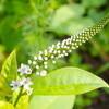 「オカトラノオ(岡虎の尾」も咲いて…。