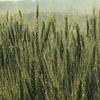 雨の雫が輝く小麦