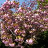 木場公園の八重桜