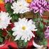 岐阜県羽島市の花「美濃菊」ってすっごい華やかなんですが!!!